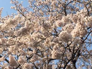 体育センターソメイヨシノ桜満開